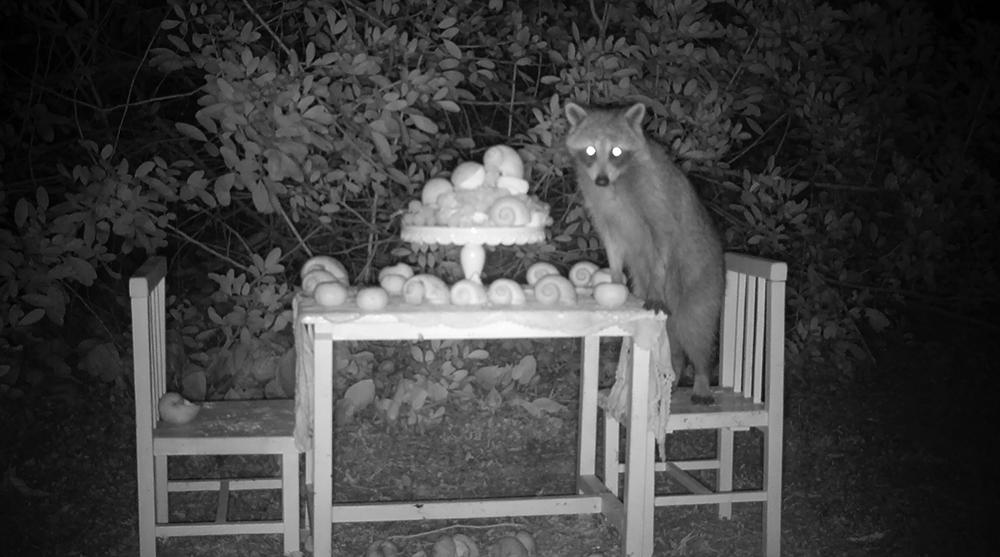5_raccoon_gaze