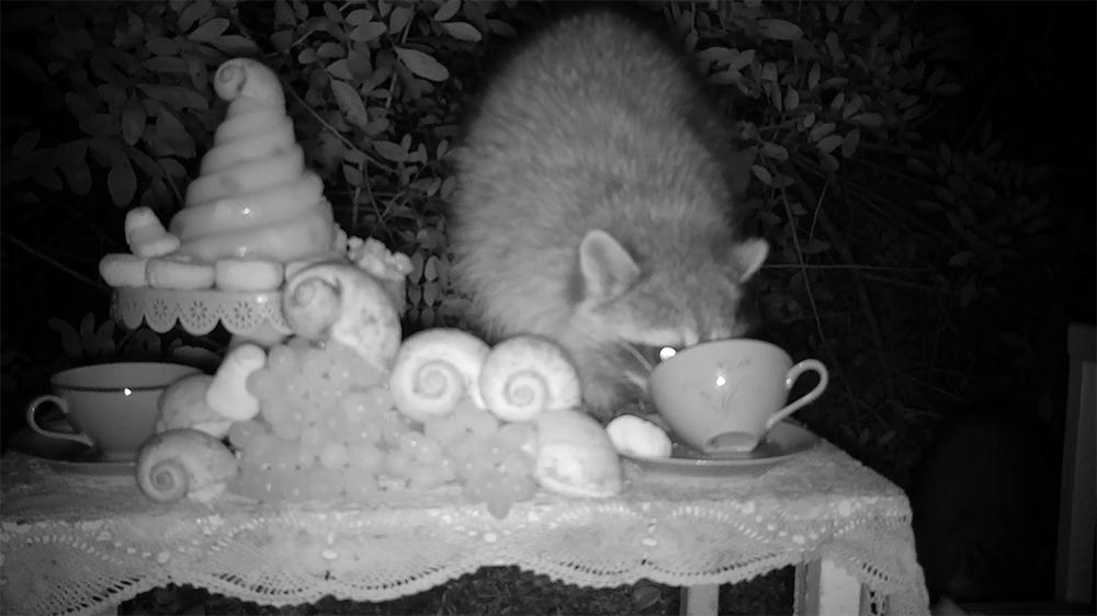 7_raccoon1
