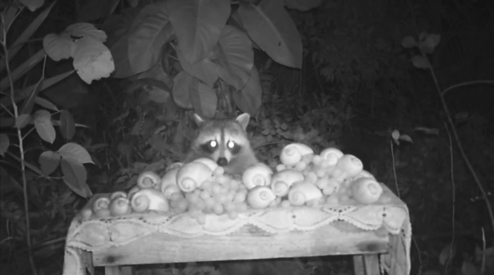 9_raccoon_snails