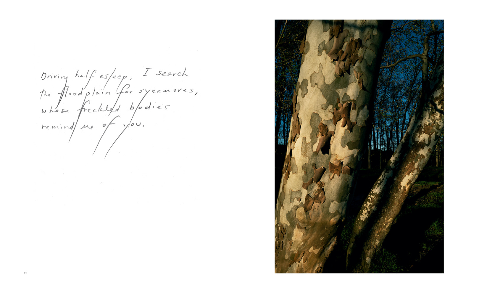With Text - Two Sycamores, 2017