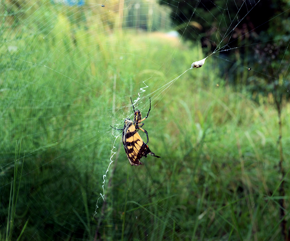Reilly_Spider___Butterfly_03